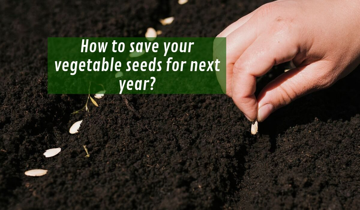 How to save your vegetable seeds for next year?